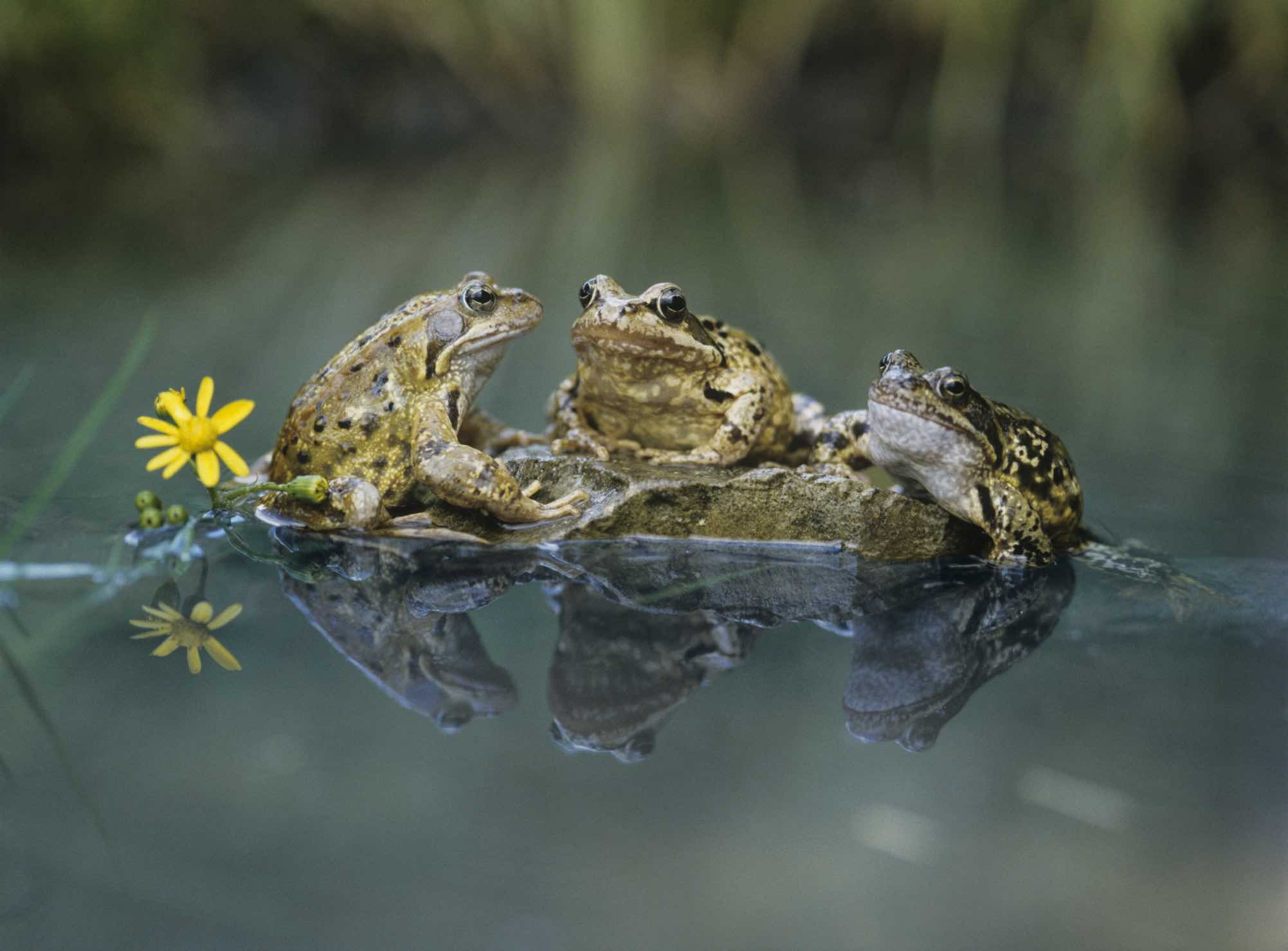 Frog Wildlife Wallpapers
