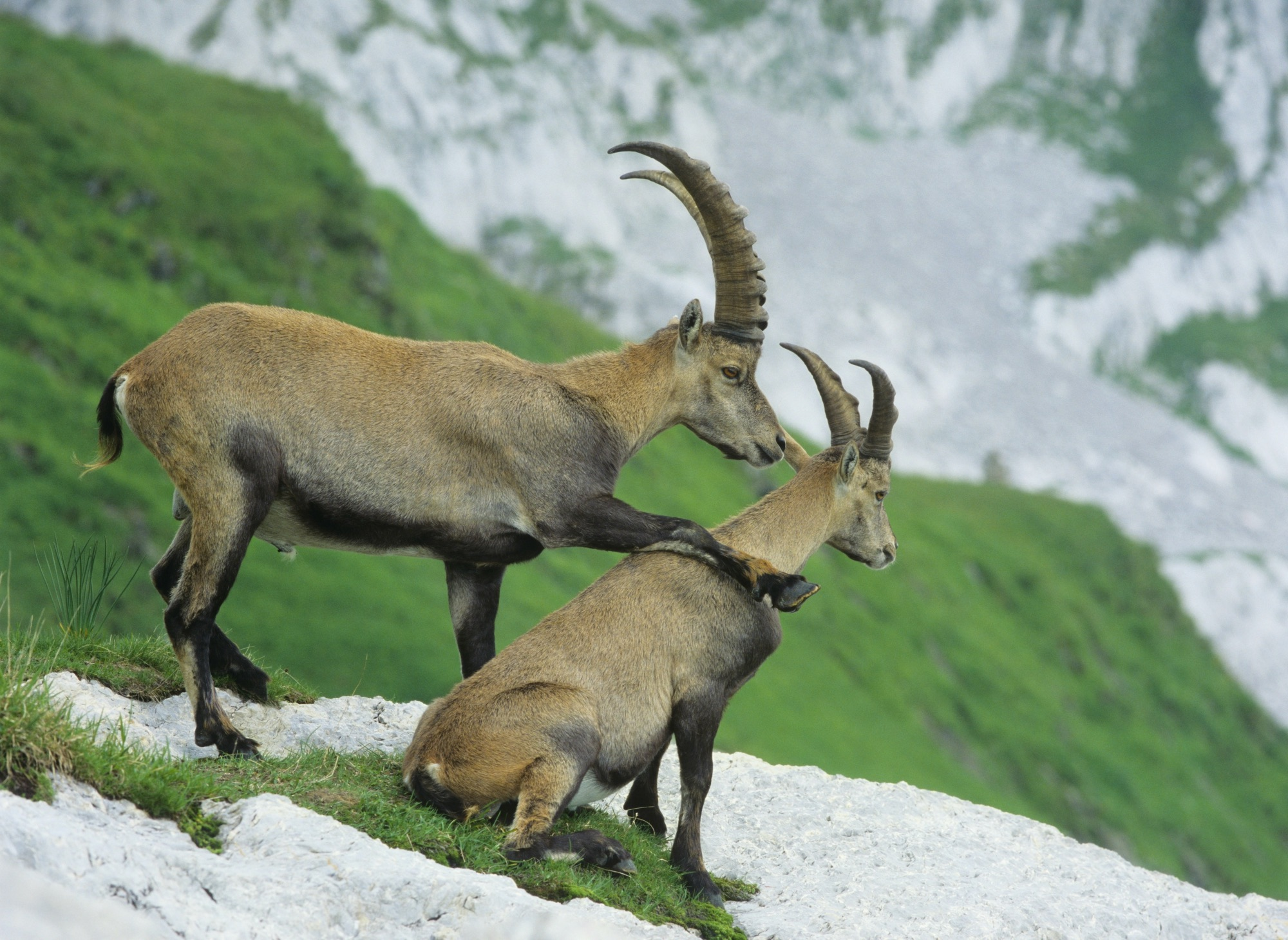 Ibexes Wildlife Wallpapers