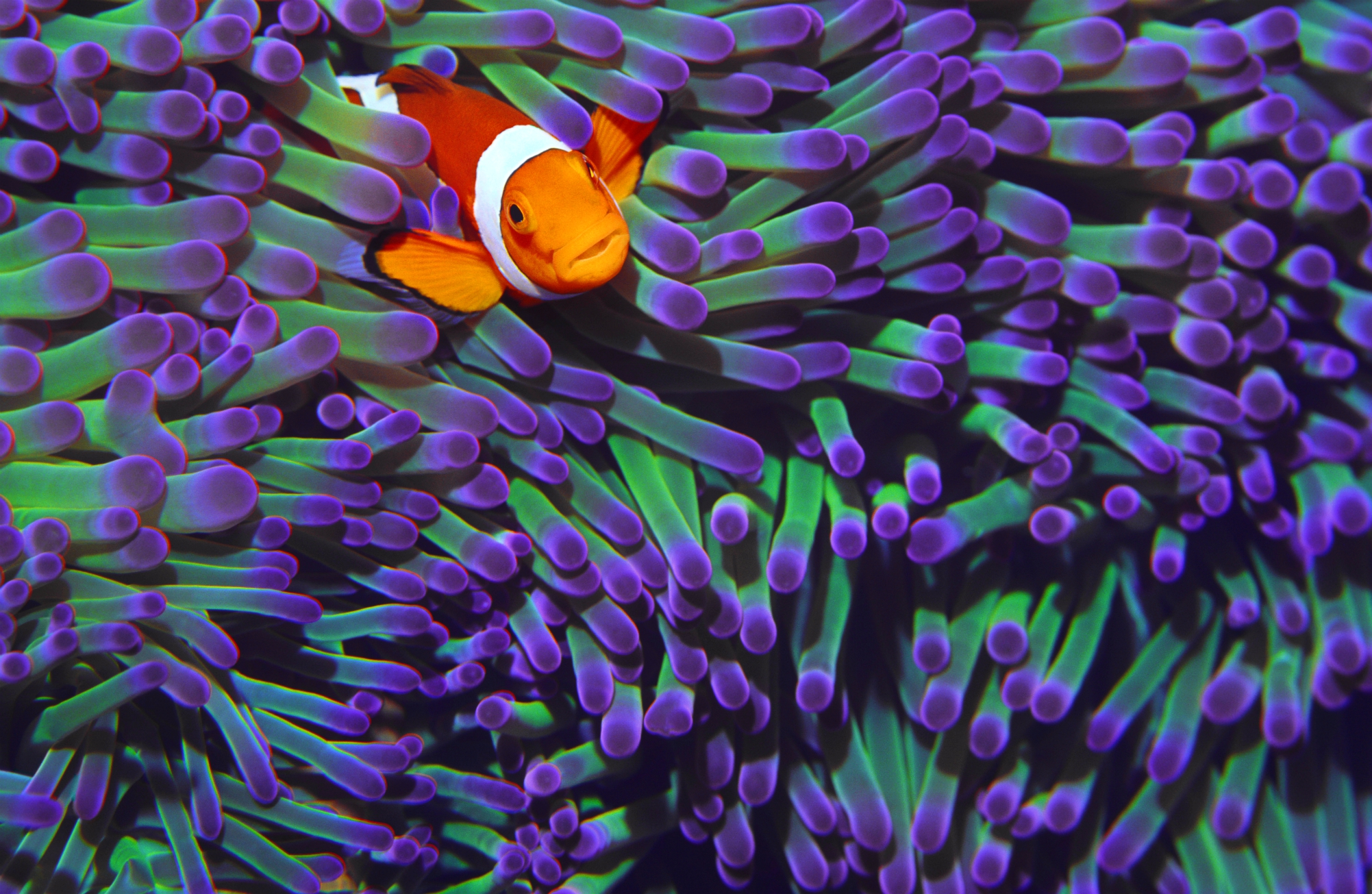 Clownfish Wildlife Wallpapers