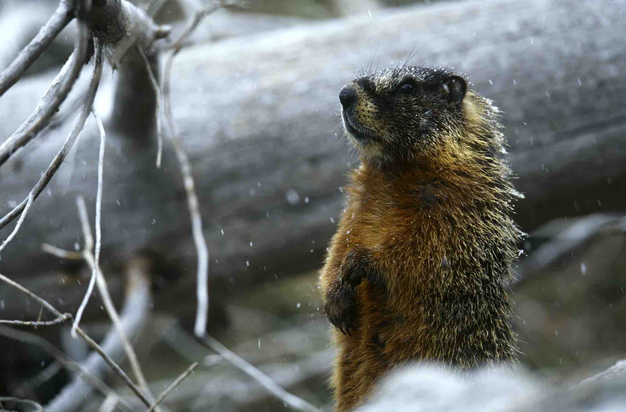 Marmot Wildlife Wallpapers